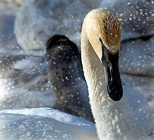 Swan In the Snow by Tizme