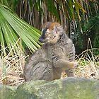 Edinburgh Zoo: Sclater's Lemur by Yonmei