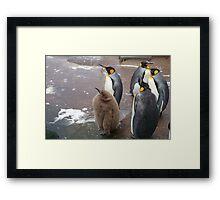 Edinburgh Zoo: baby penguin Framed Print