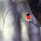 Red-Capped Robin by Jeremy Weiss