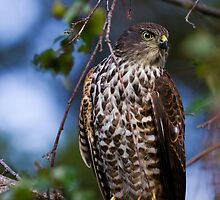 Collared Sparrowhawk by Jeremy Weiss
