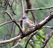 Yellow-eyed Junco by Kimberly Chadwick