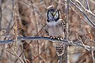 Northern Hawk Owl by Michael Cummings