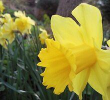 Daffodils by LaurenAmy