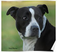 American Staffordshire Bull Terrier Poster