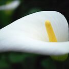 White Lily by Lozzar Flowers & Art
