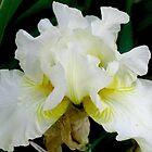 White Bearded Iris by art2plunder