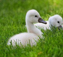 Baby Swans by snehit