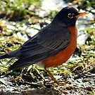 Robin Red Breast has arrived................ by Ruth Lambert
