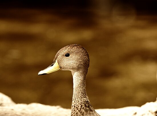 Duck - Buenos Aires Zoo, Argentina by Kent DuFault