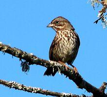 Song Sparrow ~~ Melospiza melodia by Chuck Gardner