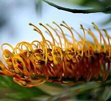 Silk Oak (Grevillea Robusta) : Single Flower by Lozzar Flowers & Art