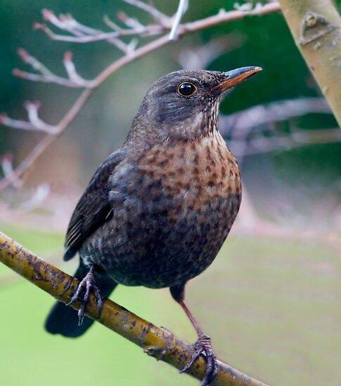 Female Blackbird by Geoff Carpenter