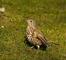 Mistle Thrush by Jon Lees