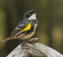 Yellow Rumped Warbler by Wayne Wood
