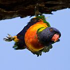 Rainbow Lorikeet by Jeremy Weiss