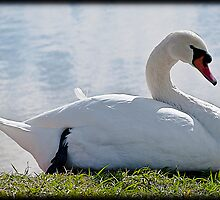 A Subdued Swan by Bill Metek