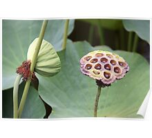 Down In The Lotus Pond Poster