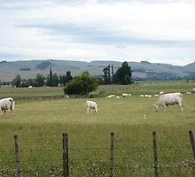 white cows!!!!!!!!!!! by jacindamcdowell
