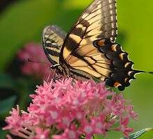 Eastern Tiger Swallowtail (Papilio glaucus) 1 by John Caddell