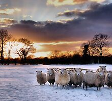 Cold Hungry Sheep by JEZ22