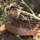 Francolin by Sassie Otto