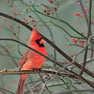 Cardinal by Debbie  Roberts