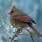 Little Lady Cardinal  by Bonnie T.  Barry