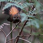 Rufous Fantail by Jeremy Weiss