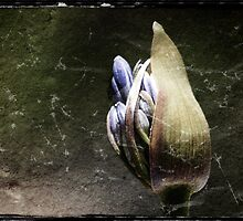 Agapanthus Bud by Eve Parry