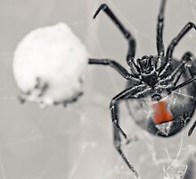 Redback Guarding an Eggsack by Arek Rainczuk