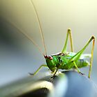 Cricket on a water hose by Stephen Thomas