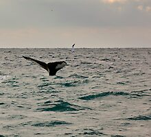 Humpback whale tail fin, Baiginbun Bay, County Wexford, Ireland by Andrew Jones