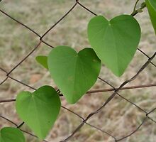 Heart shape leaves on a wire fence by Annabella
