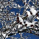 Snowy Buds by ericb