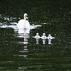 Mother swan with three cygnets by Breo