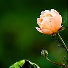 Peach Rose by jennimarshall