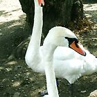 Two swans by Breo