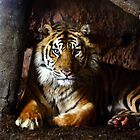 Striped Predator - Sumatran Tiger by Terry Seidler