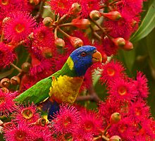 Rainbow Lorikeets by Ron  Wilson