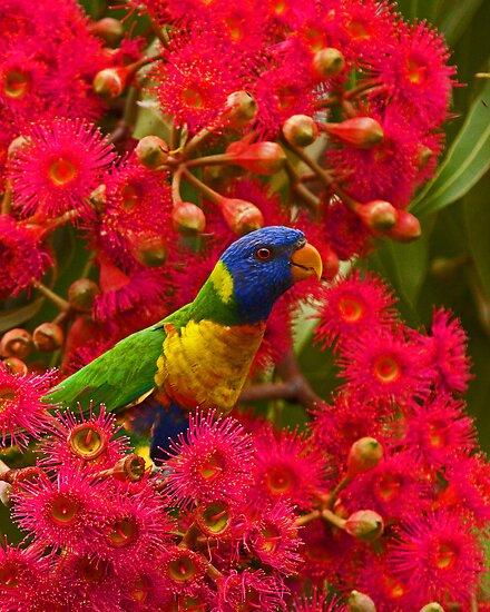 Rainbow Lorikeets by Ron  Wilson