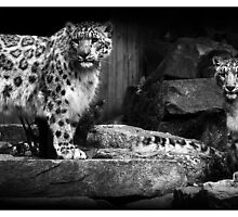 Snow Leopards - (Double Portrait) by MoGeoPhoto