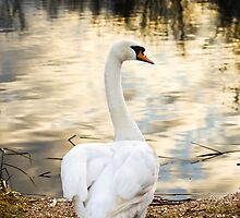 Mute Swan by Ben  Warren