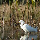 Snowy Egret by H & B Wildlife  Nature Photography