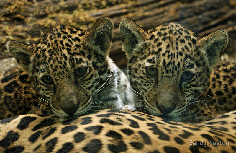 Two Jaguar Cubs by Sandy Keeton