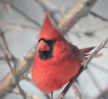 Male Northern Cardinal Hides in the Apple Tree 2 by livinginoz