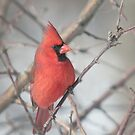 Male Northern Cardinal Hides in the Apple Tree 3 by livinginoz