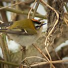 Little Firecrest - golden shot by steppeland