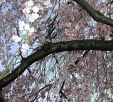 Weeping Cherry no.2 by Duckydaddles