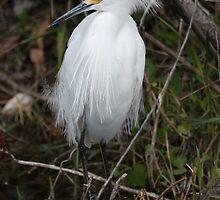 Snowy Egret by Mike Fischetti